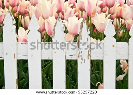 dutch tulips behind picket fence