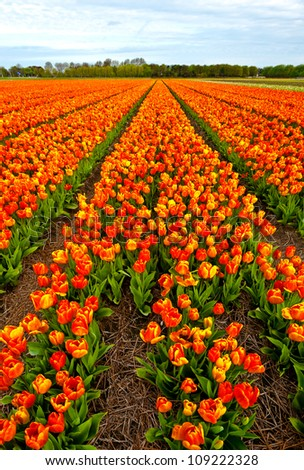 Dutch Tulips in the Field Ready for Harvest