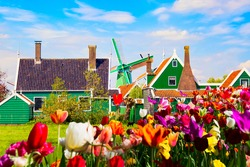 Dutch typical landscape. Traditional old dutch windmill and green houses Zaanse Schans village with tulips flowers flowerbed in the Netherlands. Famous tourism place
