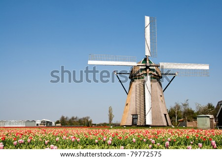 Dutch windmill in a tulipfield in Holland