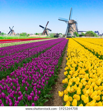 dutch windmill over colorful violet and yellow tulips field, Holland Stock photo ©