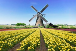 dutch windmill over colorful yellow tulips field, Holland