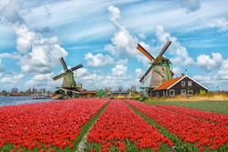Dutch windmills and fields of red tulip flowers against the blue cloudy sky in Holland, Netherlands.