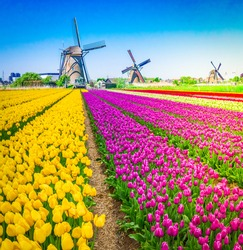 dutch windmills over colorful tulips field at spring day, Holland