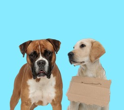 Dutiful Boxer looking forward and stray Labrador Retriever wearing adoption sign  on blue background