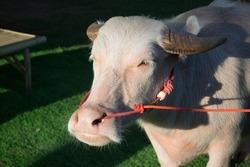 Dwarf albino buffalo has pink, black horns.