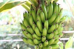 Dwarf banana (Musa acuminata cv.dwarf cavendish)