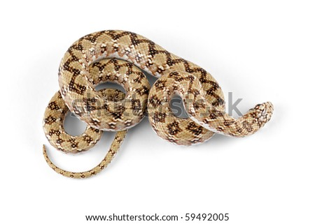 Dwarf beaked snake (Dipsina multimaculata) on white