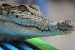 Dwarf crocodile or Osteolaemus Tetraspis a small croc breed. Very short tiny baby aligator cousing.