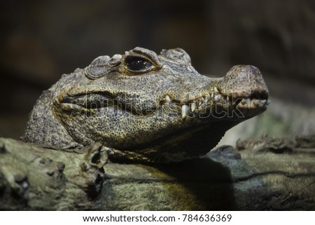 Dwarf crocodile (Osteolaemus tetraspis), also known as the African dwarf crocodile.
