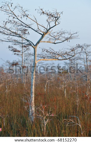 dwarf cypress tree in winter dormancy at florida's everglades national park