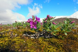 Dwarf fireweed, arctic flora in Iceland's highlands. In the background snow-covered glacier.