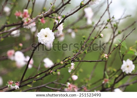 Dwarf Flowering Cherry,Dwarf Flowering Almond,beautiful white with pink flowers blooming in the garden