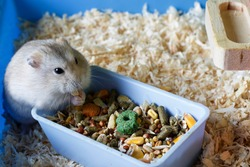 Dwarf furry hamster eats food next to the feeder in cage