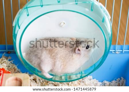 Dwarf furry hamster lies in a plastic wheel, side view #1471445879