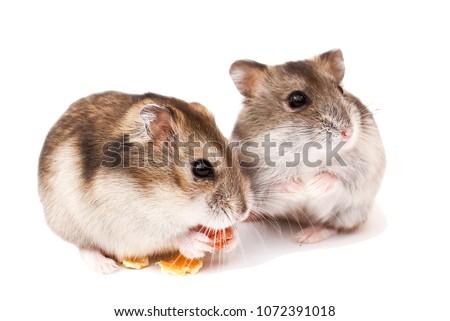Dwarf hamster, hamster, funny hamster, hamster eats