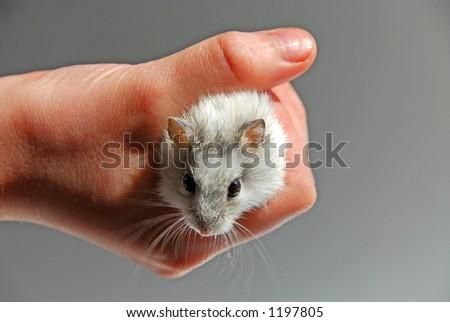 Dwarf hamster in child\'s hand