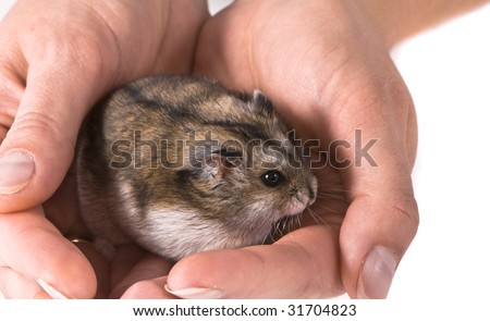 Dwarf hamster in woman hands - stock photo