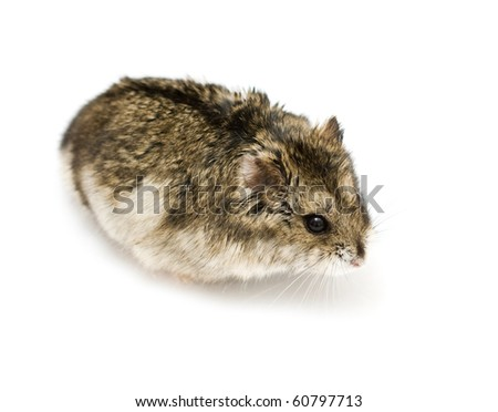 Dwarf hamster isolated on white - stock photo