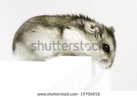 Dwarf hamster look down on light background