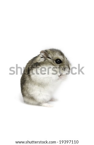 Dwarf hamster seat on the white background - stock photo