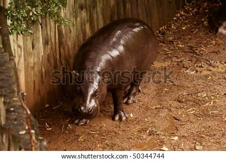 Dwarf Hippopotamus.