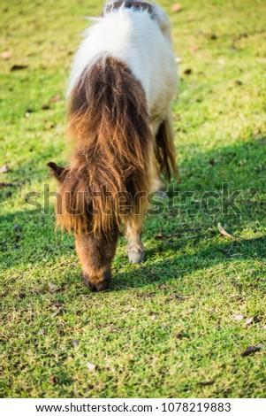 Dwarf horse on green  grass, Thailand. #1078219883