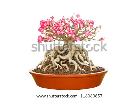 Dwarf Impala Lily in  flowerpot, Isolated over with with clipping path