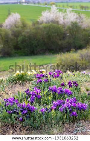 Dwarf iris in Pusty kopec u Konic near Znojmo, Southern Moravia, Czech Republic Zdjęcia stock ©