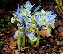 Dwarf iris (Iris Reticulata 'Katharine Hodgkin'). The netted iris or golden netted iris.