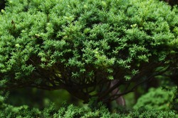 Dwarf japanese yew is Taxaceae evergreen tree, whose trunk is divided into many branches and spreads laterally to be used for ornamental purposes.