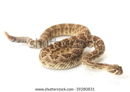 Dwarf Mojave rattlesnake (Crotalus scutulatus) isolated on white background