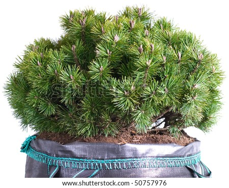 dwarf mountain pine in a pot isolated on a white background