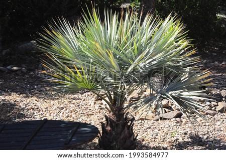 dwarf palm on  the garden house