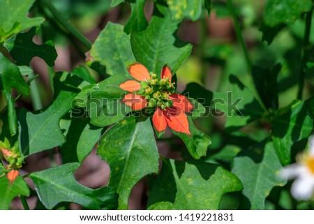 Dwarf poinsettia a.k.a. fire-on-the-mountain (Euphorbia cyathophora) closeup - Topeekeegee Yugnee (TY) Park, Hollywood, Florida, USA Stock fotó ©