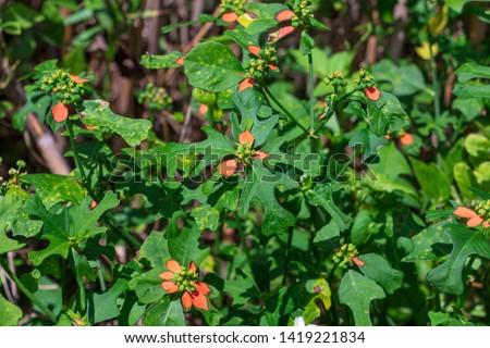 Dwarf poinsettia a.k.a. fire-on-the-mountain (Euphorbia cyathophora) - Topeekeegee Yugnee (TY) Park, Hollywood, Florida, USA Stock fotó ©