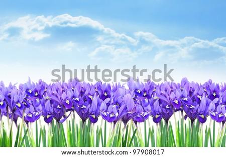 Dwarf purple iris flower border in early spring