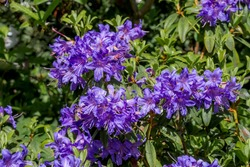 Dwarf Purple Rhododendron (Rhododendron impeditum) in park