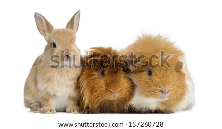 Dwarf rabbit and Guinea Pigs, isolated on white #157260728