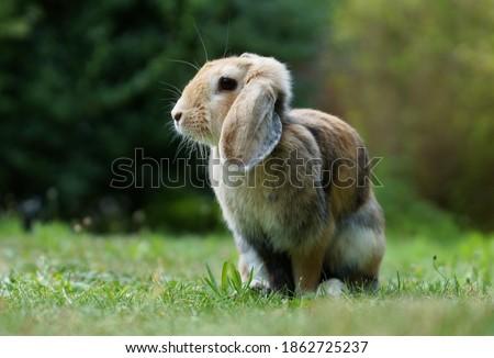 dwarf ram rabbit in garden, sitting on green grass, cute bunny Photo stock ©