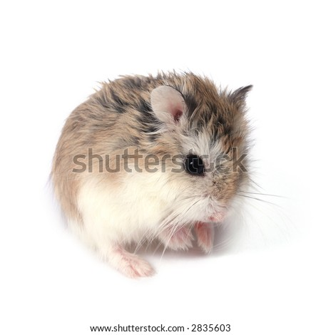 Dwarf Roborovski (Phodopus Roborovskii) hamster isolated on white ...