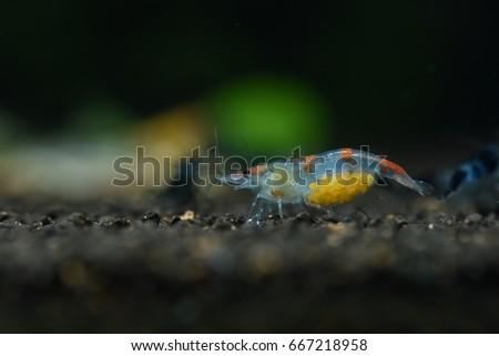 dwarf shrimp #667218958