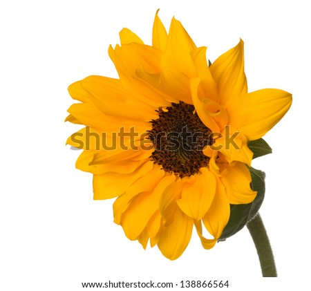 Dwarf sunflower (Helianthus annuus) with pollen-free golden orange petaled flowers with deep brown faces, typically grown in a pot