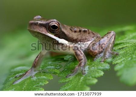 Photo of  Dwarf Tree Frog resting on fern frond