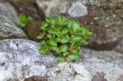 Dwarf Willow (Salix herbacea)
