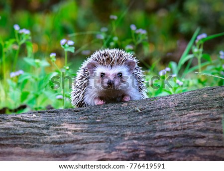 Dwraf hedgehog on stump, Young hedgehog on timber wiith eye contact, Sunset and sorft light, Bokeo background.