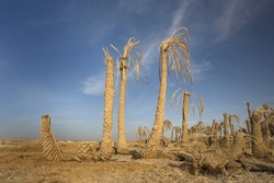 Dying Palm Trees In The Desert Sands Near The Great Sand Sea And The Siwa Oasis, Egypt