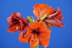 Dying red amaryllis and new buds ready for blossoming isolated on blue chroma key background