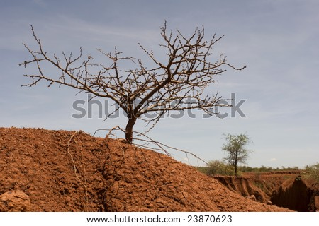 dying tree or shrub in badly eroded area of Kenya, East Africa