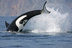 dynamic jump of killer whale hunting fish